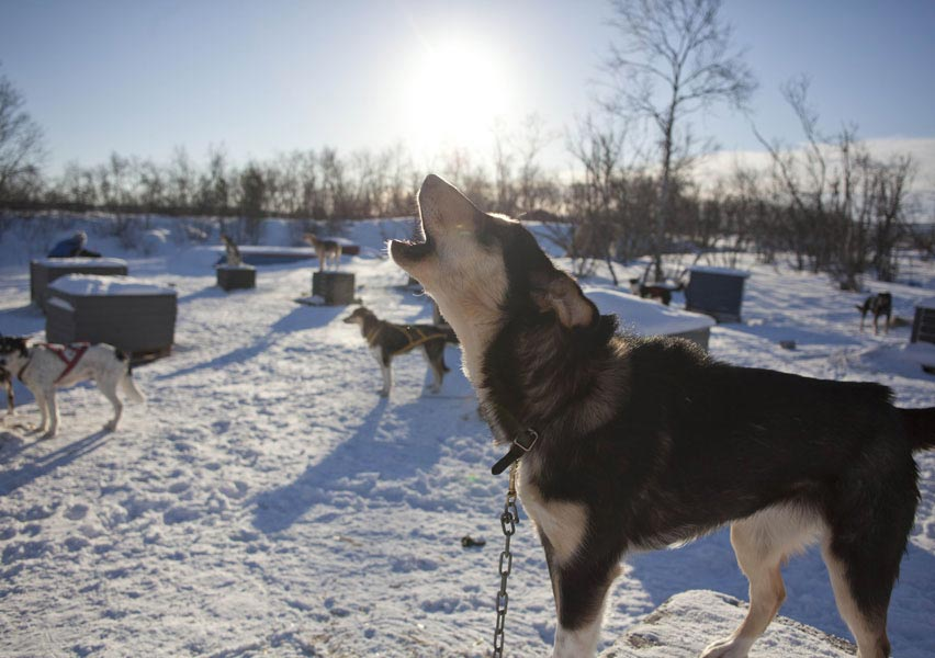 content-husky1-holiday-village-valle-lapland