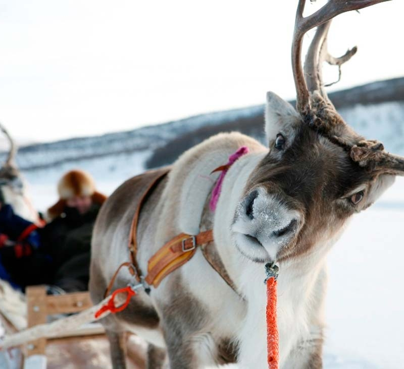 Traditional reindeer ride